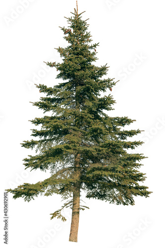 Fotografie, Obraz Abie tree, known as Fir tree, isolated on white background.