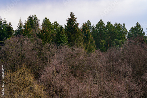 Fototapeta The majesty of the silent evergreen forest, spruce and pine forest during frost, a natural winter phenomenon