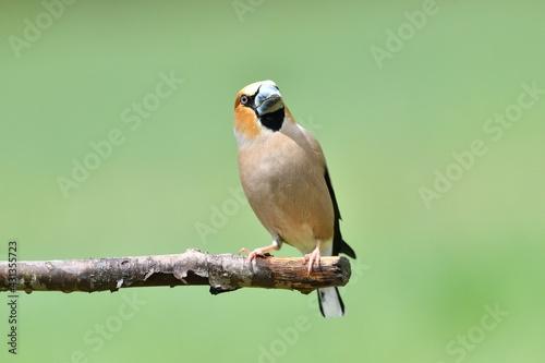 Obraz na płótnie Portrait of the hawfinch sitting on tree branch in the spring