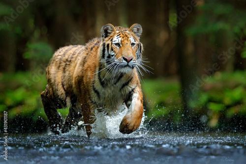 Amur tiger playing in the water, Siberia Fototapet