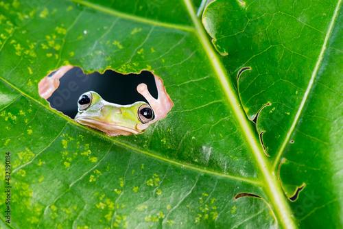 green frog on a leaf Fototapeta