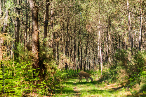 meeting with a doe in the Landes forest Fototapet