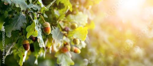 Fotografia, Obraz Oak branch with acorns on a tree in sunny weather