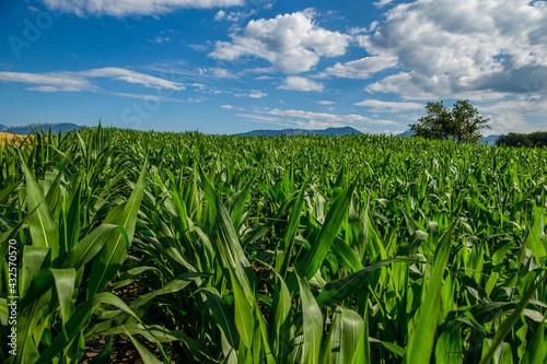 Foto Slovenian Corn Fields