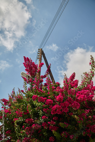 Photo Vertical shot of bougainvillaea glabra flowers in a garden under the sunlight