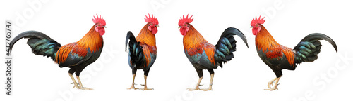 Slika na platnu Set of colorful free range male rooster in different pose isolated on white back
