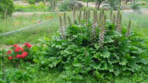Fotografia Acanthus mollis, Acanthaceae. In Sagunto.