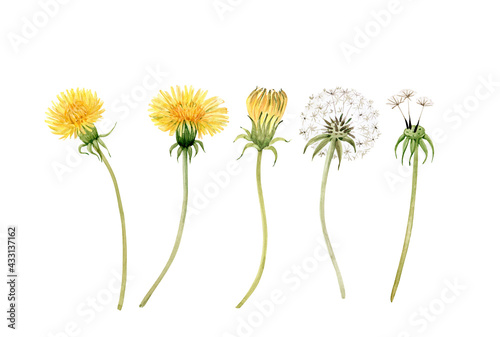 set of watercolor illustrations of yellow meadow flowers dandelion on a white background. hand painted for design and invitations.