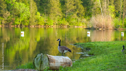 Fotografie, Obraz Gaggle of geese with baby goslings in Arkansas