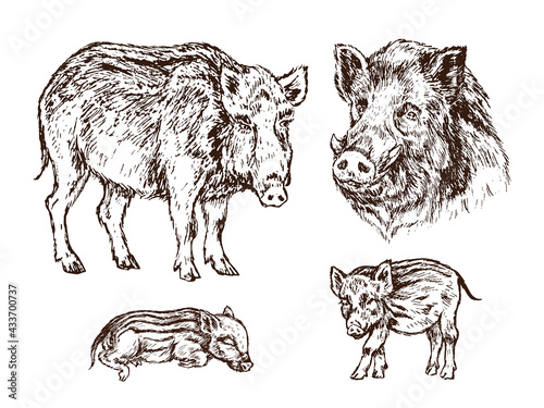 Obraz na plátne Wild boar (Sus scrofa) collection, pig side view, muzzle and piglets,  gravure s