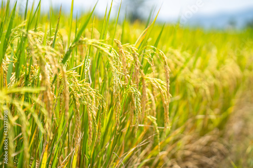 Canvas Print Ripe rice paddy field for background.