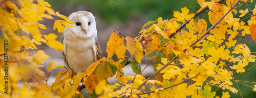 Fotografia Panorama Barn Owl in a Tree During Autumn or Fall Panoramic Web Banner Header