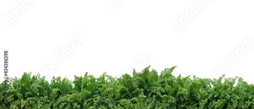 Fotografie, Obraz Tropical foliage plant bush nature frame layout of Fishtail fern or forked giant sword fern (Nephrolepis spp