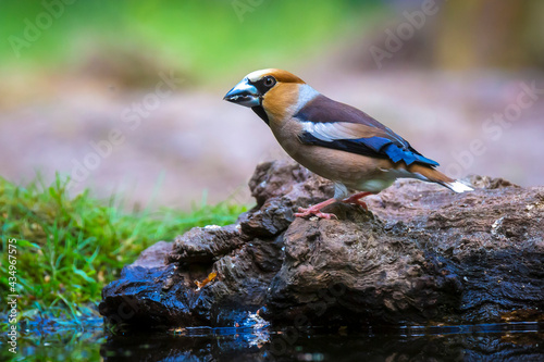 Fotografia Closeup of a male hawfinch Coccothraustes coccothraustes songbird perched in a forest
