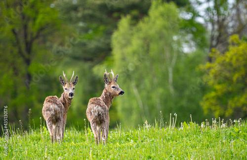 Canvas Print roe deer (Capreolus capreolus) in spring nature