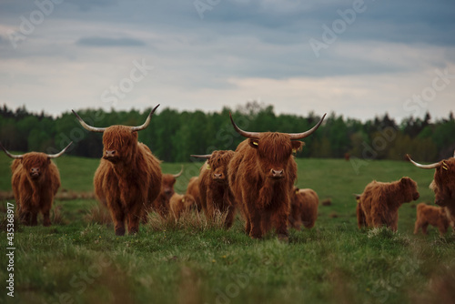 Fotografie, Obraz Highland cow and calf. Sunset over the pasture