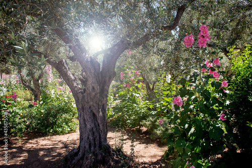 Obraz na plátně Miraculous heavenly light in Gethsemane garden, the place where Jesus was betrayed