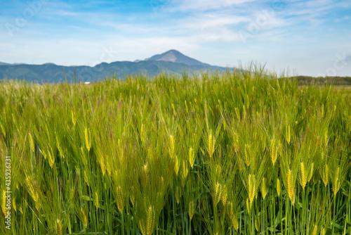 Fotografie, Obraz Bright green wheat field in Japan