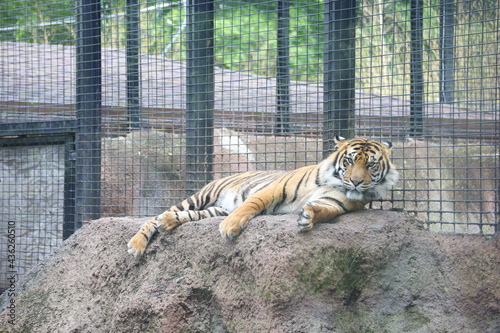 Canvas Print Closeup shot of a tiger lying in an aviary in Topeka zoo in Kansas in the USA