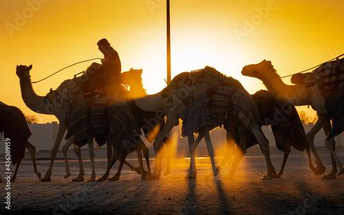Fényképezés Ash-Shahaniyah, Qatar- March 21 2021 : Jockeys taking the camels for walk in the camel race tracks