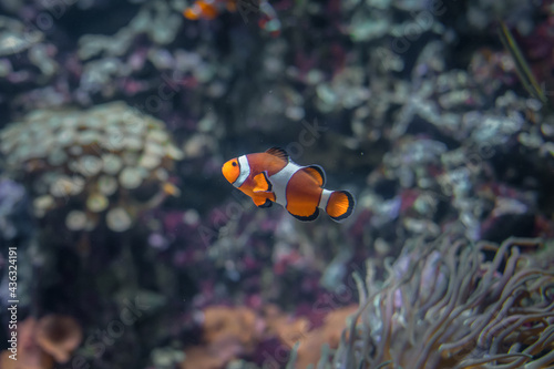 Photo Clownfish Amphiprion in the thickets of seaweed actinia