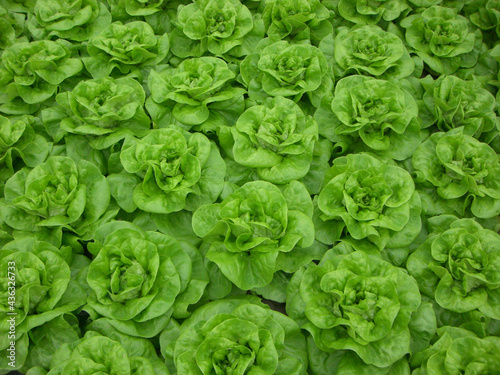 Photo Top view of fresh green lettuce growing on a garden