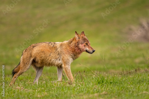 Obraz na plátně Grey Wolf (Canis lupus)