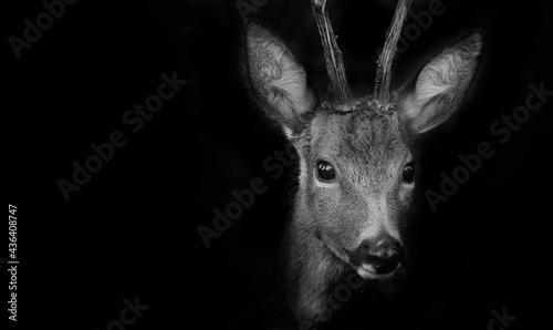 Valokuva Roe deer in forest - Capreolus capreolus close up