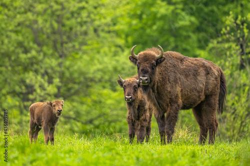 Canvas Print European Bison (Wisent) /Bison bonasus/ The Bieszczady Mts
