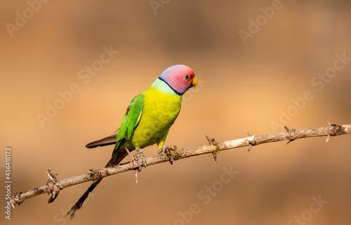 Obraz na plátně A male plum-headed parakeet feeding on a the rice grains in the paddy fields on