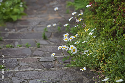 Canvas-taulu Wild daisies growing along a stone path
