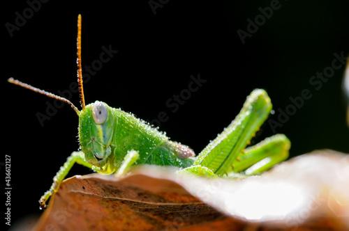 Fototapeta Green grasshopper hanging on the leaf against dark green nature background