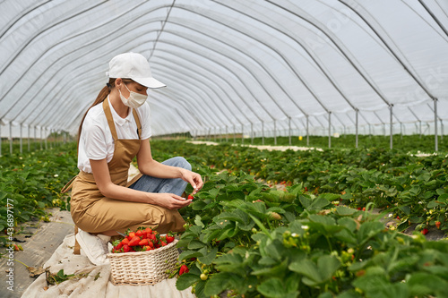 Fotografia Young female farmer in face mask, cap and apron harvesting ripe strawberries at greenhouse
