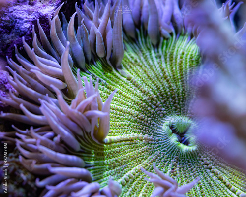Fotografering Rock Flower Anemone, green and white