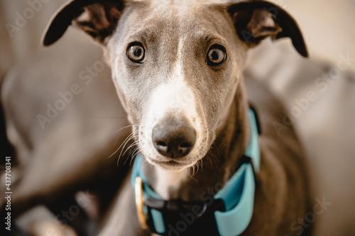 whippet, pies, zwierzę, rasowy, z rodowodem, szczeniak  #437708341