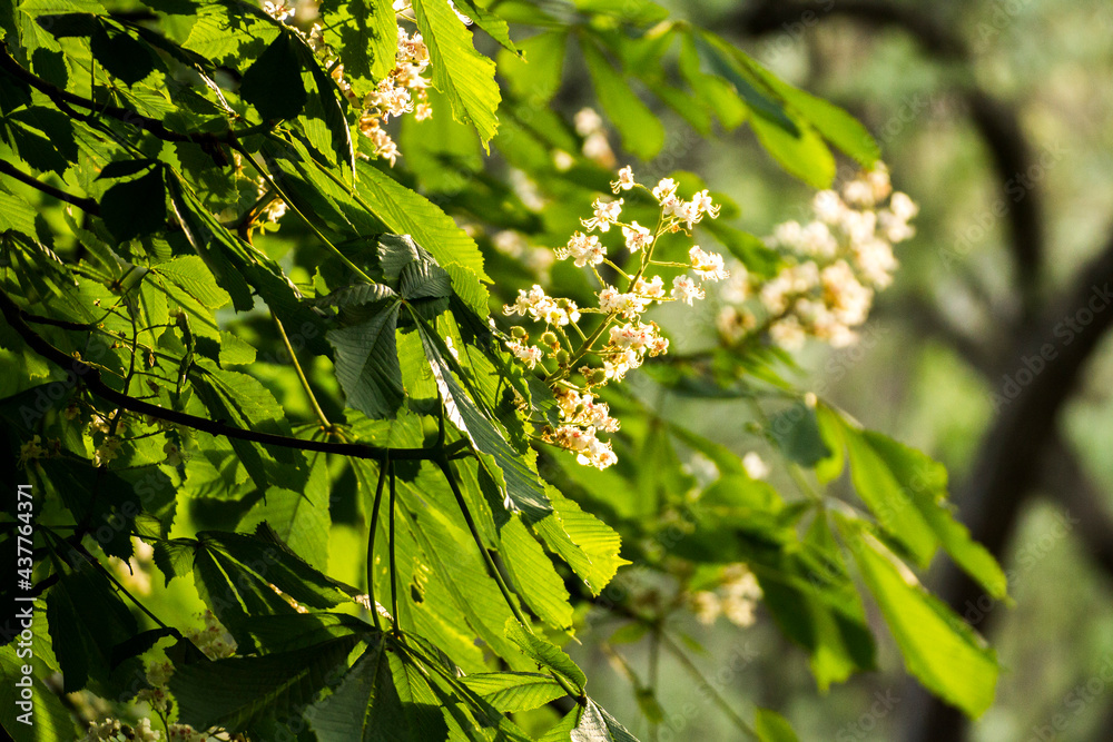 white chestnut flowers among green leaves