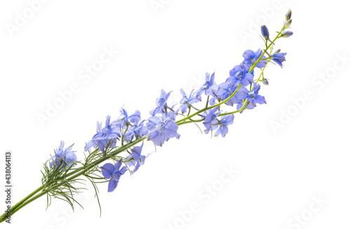 Fotografija perennial delphinium flowers isolated