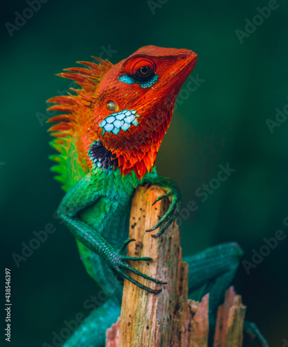 Slika na platnu Proud colorful lizard held his head high and sitting on top of a wooden pole, Colorful skinned dragons face side view close up