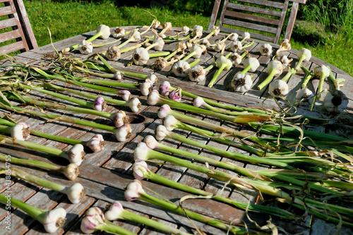 Obraz na plátně Home grown garlic bulbs laid out on a patio table and drying in the sun - hard n