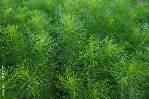 Photo Fresh Dill isolated on the field,Thailand.