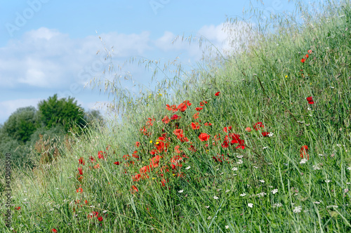 Obraz na plátně Poppies and wild plants in the Loire valley