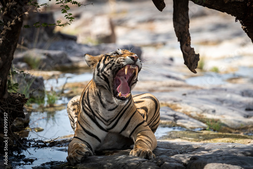 Indian wild royal bengal male tiger extreme close up or portrait with roar and y Fotobehang