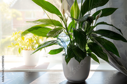 Wallpaper Mural Round transparent self watering device globe inside potted peace lilies Spathiphyllum plant soil in home interior indoors, keeps plants hydrated during vacation period inside home