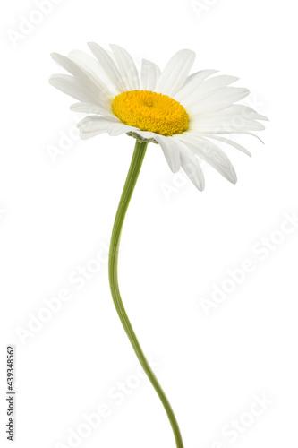Valokuva White daisy