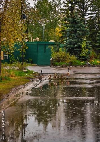 Fototapeta Gaggle Of Geese Walking Through A Puddle Of Water