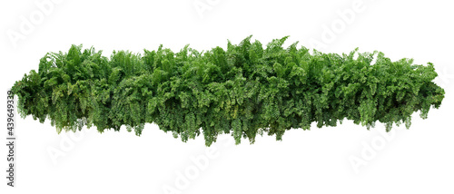 Fotografering Tropical foliage plant bush, cascading hanging Fishtail fern or forked giant sword fern (Nephrolepis spp
