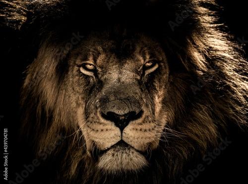 portrait of a lion Fototapet