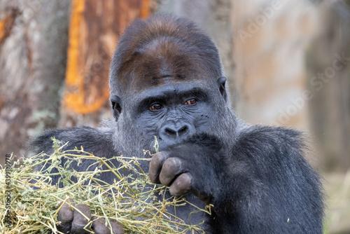 Fototapeta Captive Western Lowland Gorilla Silverback in an Australian Zoo