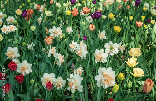 Photo Many double pink daffodils interspersed with colorful tulips