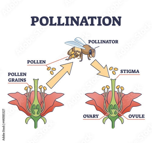 Fotografie, Obraz Pollination as plant reproduction and vegetation process in wildlife outline diagram